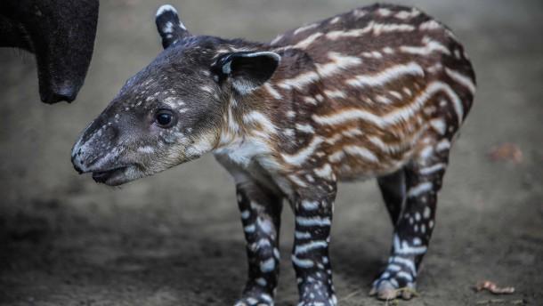 Seltener Tapir-Nachwuchs in Nicaragua