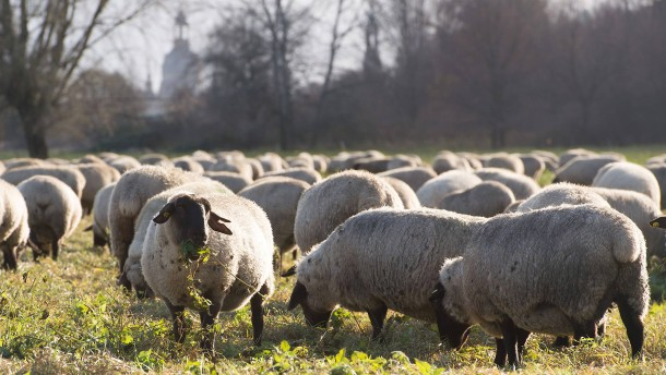 Herde  Geldanlage: Wie schlau ist die Herde?