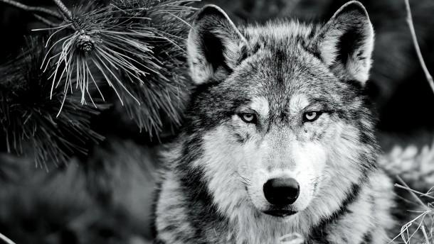 Gebührt dem Wolf noch Schutz?