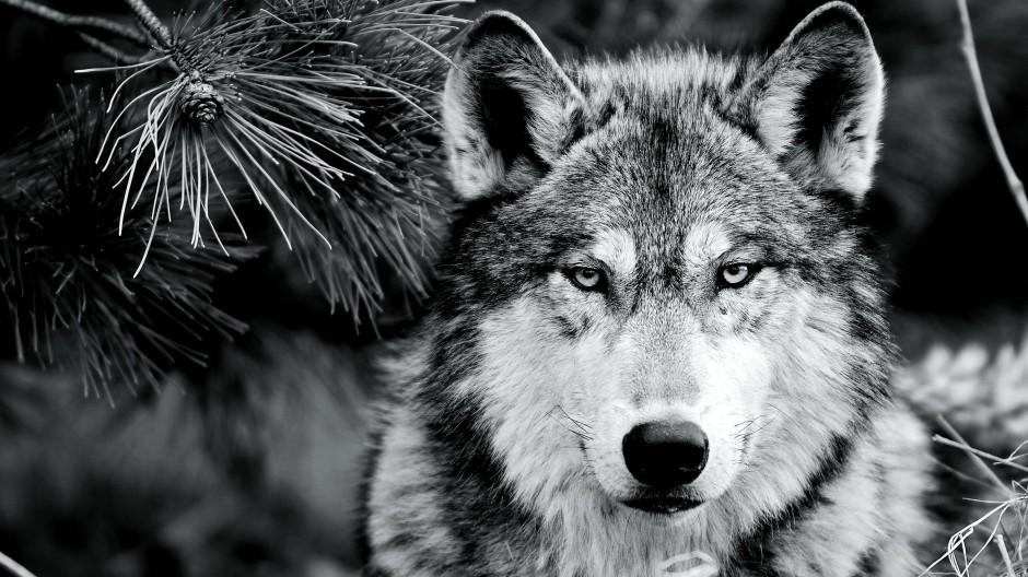 Warum einem Reh hinterherrennen, wenn man sich auch auf einer Weide bedienen kann? Auch Canis lupus macht es sich  zuweilen lieber leicht.