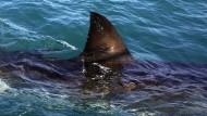 Südafrikas Weiße Haie vom Aussterben bedroht