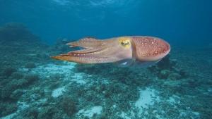 Warum sind Tintenfische so clever?