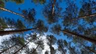 Wie steht es um unsere Bäume? Kiefern in einem Wald bei Eberswalde.