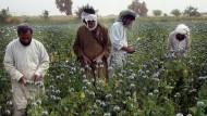 Afghanische Bauern ernten Rohopium in Helmand.