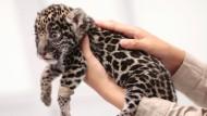 Mexikanischer Tierpark zieht Baby-Jaguare auf