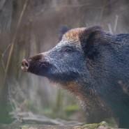 Afrikanische Schweinepest: Auch in Deutschland sind Wildschweine von der Krankheit betroffen.