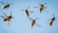Wespenschwarm attackiert Fußballteams