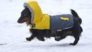Ein Dackel im Wintermantel: Mensch und Hund verbindet nicht der Hang zur warmen Kleidung