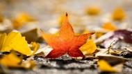 Am schönsten im Herbst: Der aus Nordamerika stammende Amberbaum