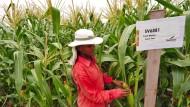 Ein Zuckermais-Feld von Monsanto in Indien.