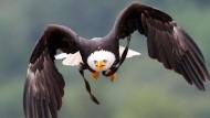 In der Luft: Ein Weißkopfseeadler während einer Freiflugschau in Detmold. (Symbolbild)