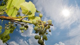 Die Weinbauern fürchten jetzt den Regen