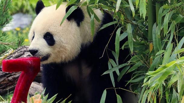 Pandadame Meng Meng feiert Geburtstag
