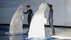 Beluga-Wale finden neue Heimat