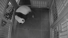 Japans ältester Zoo freut sich über Panda-Babys