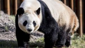Pandas für Dänemark