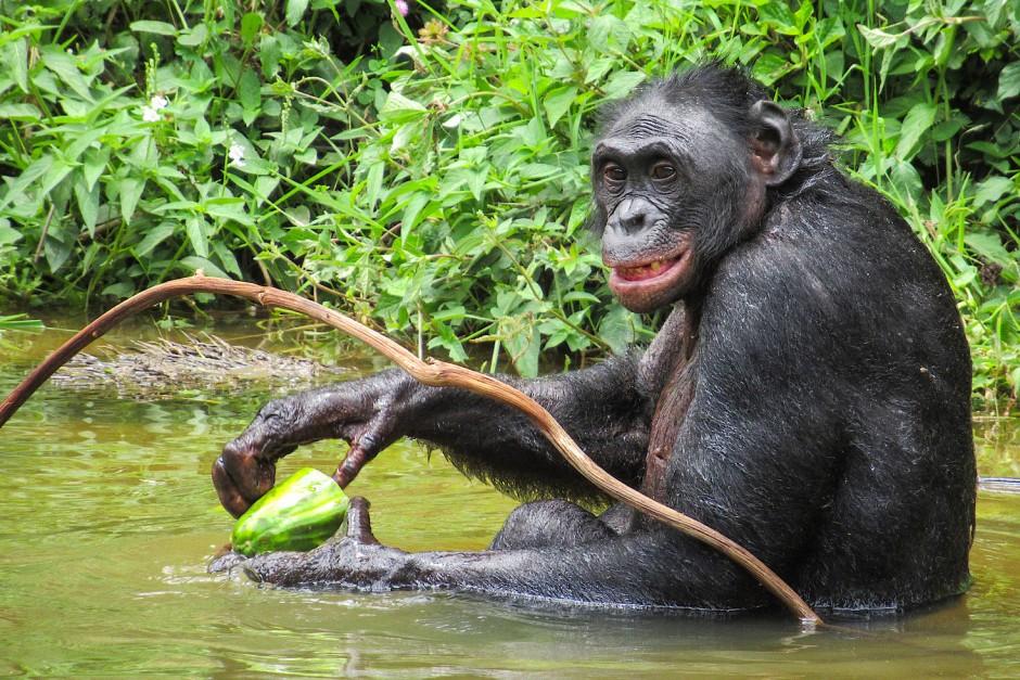 Ein Bonobo im Lola Ya Bonobo Sanctuary Park, wo durch Buschfleisch-Handel und Abholzung verwaiste Affen betreut werden.