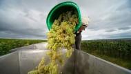 Fallobst: Ein Erntehelfer kippt bei der Weinlese zwischen Oestrich und Hallgarten eine Kiepe Trauben aus.