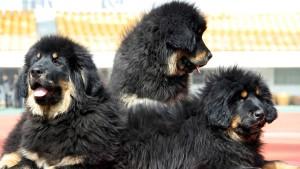 Besitzer müssen lauten Hunden Teile der Stimmbänder entfernen