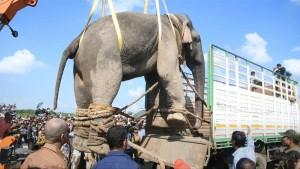 """Indischer """"Killer""""-Elefant wird umgesiedelt"""