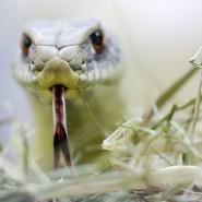 Giftig: eine europäische Eidechsennatter
