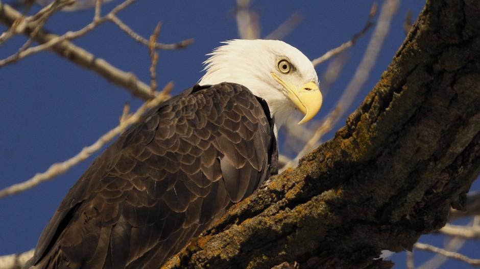 Der Weißkopfseeadler ist das Wappentier der Vereinigten Staaten von Amerika.