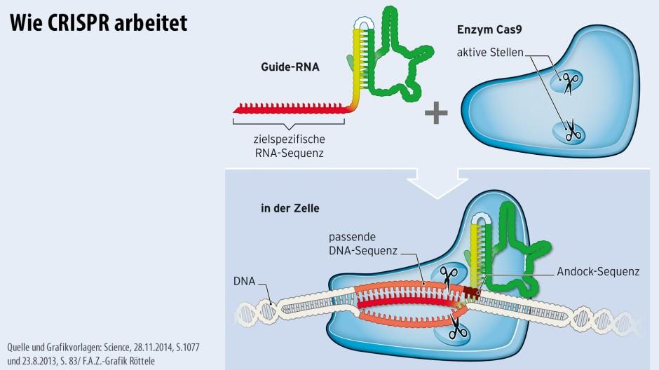In Bakterien entdeckt: Aus dem Enzym Cas 9 und einer RNA setzt sich ein System zusammen, das zielsicher DNA schneiden oder austauschen kann.