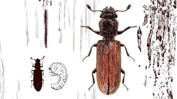 Der käfer kleine wand an braune Kleine Käfer