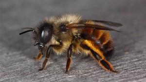 Seltene Wildbienen nisten in Offenbach