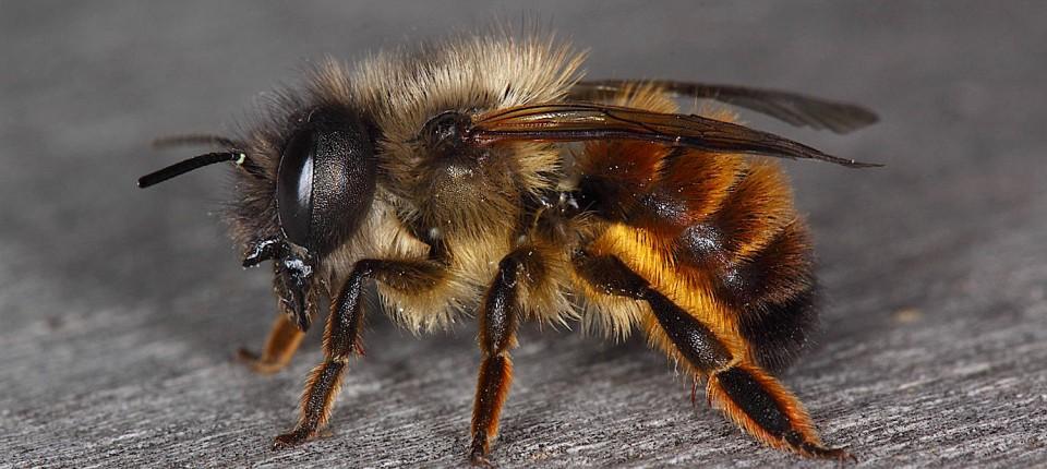 Harte Zeiten: Wildbienen fehlt es an Nahrung und Nistplätzen.