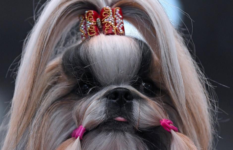 """Bad Girl: Ein Shih-tzu wartet auf der """"World Dog Show"""" in Leipzig am Wettbewerbsring auf seinen Auftritt."""