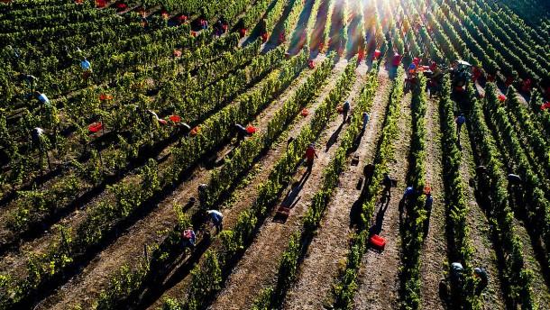 Hitzesommer 2018 sorgte für größte Weinernte seit 1999