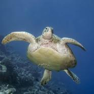 Eine Grüne Meeresschildkröte (Symbolbild).