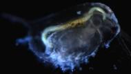 Die Wahrnehmung des großen Wasserflohs (Daphnia magna) leidet in versauerten Gewässern.