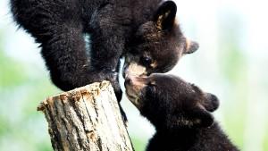 Stream von Bären-Waisen soll Spenden einbringen