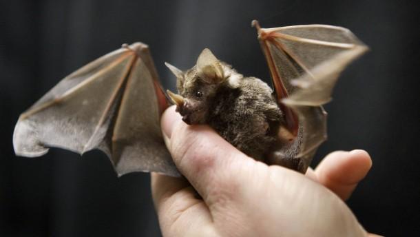 Neurologen lernen von Fledermäusen