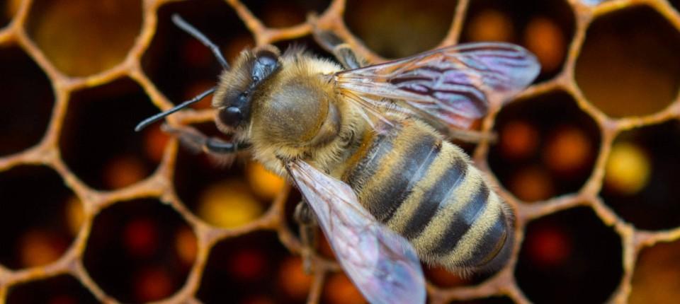 Neonikotinoide Sind Mit Schuld Am Bienensterben