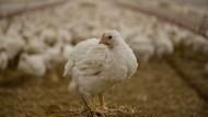 Das Hähnchen als Auslöser: Im Jahr 1962 hat die Europäische Gemeinschaft die Einfuhr amerikanischer Hähnchen mit Zöllen belegt.
