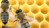 Insektizide schaden Bienen doch