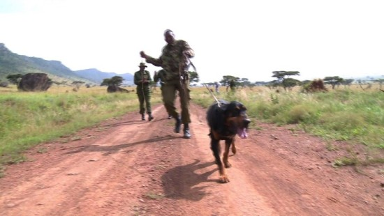 Hunde erschnüffeln Wilderer in Kenia