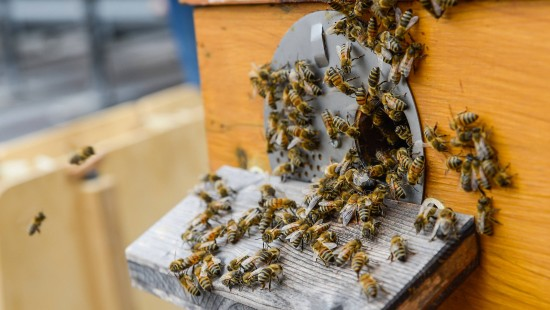 Bienen können Drohnentechnik revolutionieren