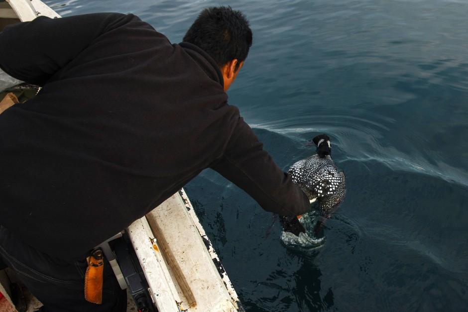Der Robbenjäger Henrik Josvasson begegnet einem Eistaucher während seiner Jagd.