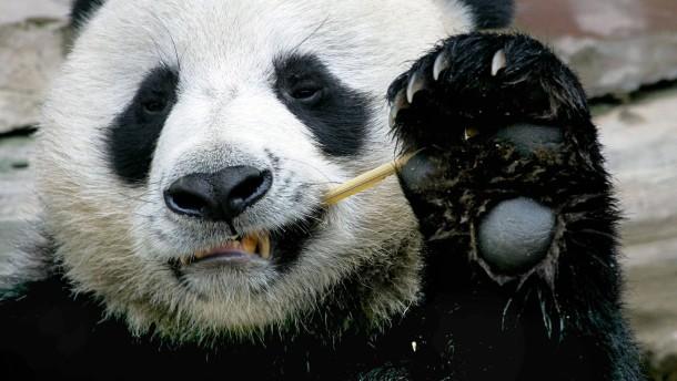 Künstliche Panda-Befruchtung