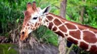 Giraffen sind vom Aussterben bedroht
