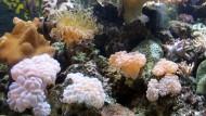 Selten sieht man Korallen in der freien Natur so intakt wie diese Lederkorallen und Blasenkorallen in einem Aquarium auf der Fidschi-Hauptinsel Viti Levu.