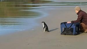 Kleiner Pinguin darf zurück in die Wildnis
