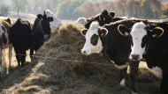 Sind Kühe klimaschädliche Emissionsproduzenten?