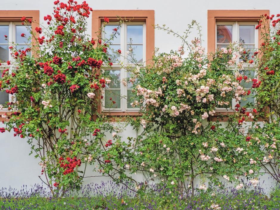 Prächtig anzusehen und vielleicht auch lieblich duftend, aber für Bienen  sind manche Rosensorten eine Mogelpackung.