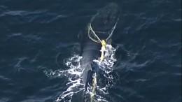 Junger Buckelwal aus Hainetz befreit