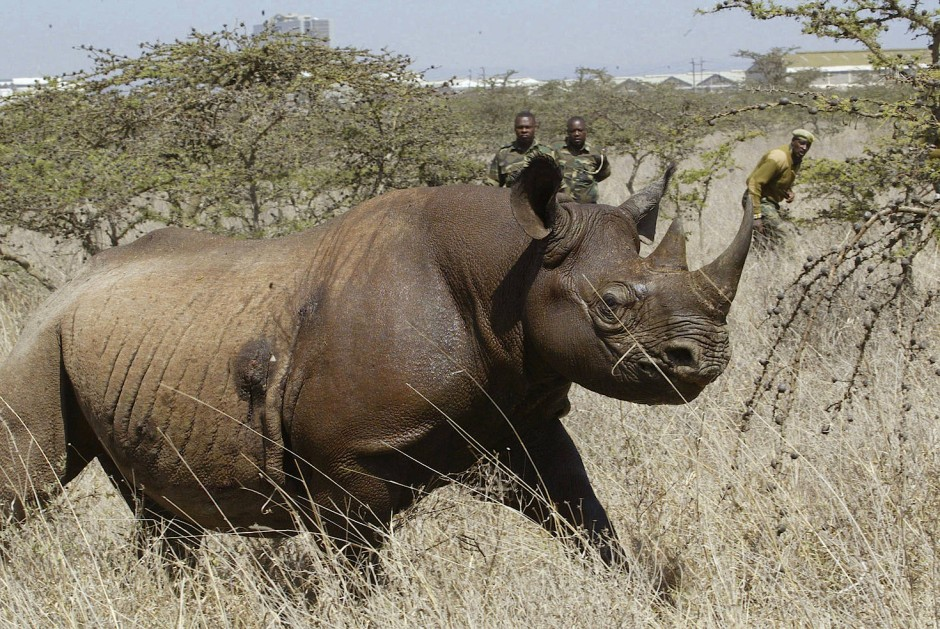 Dieses Spitzmaulnashorn wurde im Nairobi Nationalpark  markiert. Die Nashornart wird stark bejagt und ist vom Aussterben bedroht.